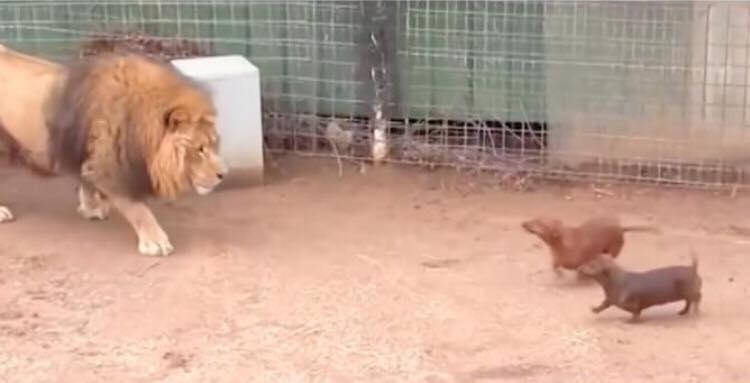Hanløven sniger sig frem mod de to små hunde - hans uventede reaktion har nu taget hele verden med storm!