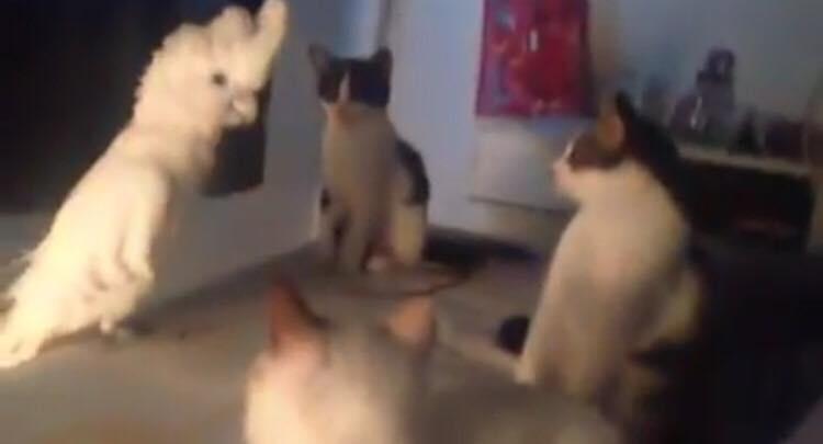 Papegøjen står sammen med 3 katte - hvad papegøjen gør havde kattene bestemt ikke set komme!