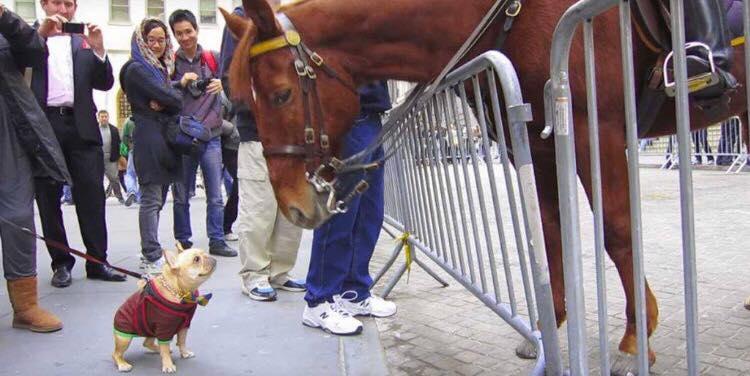 Lille hund møder stor hest - hvad hunden gør har fået millioner til at grine
