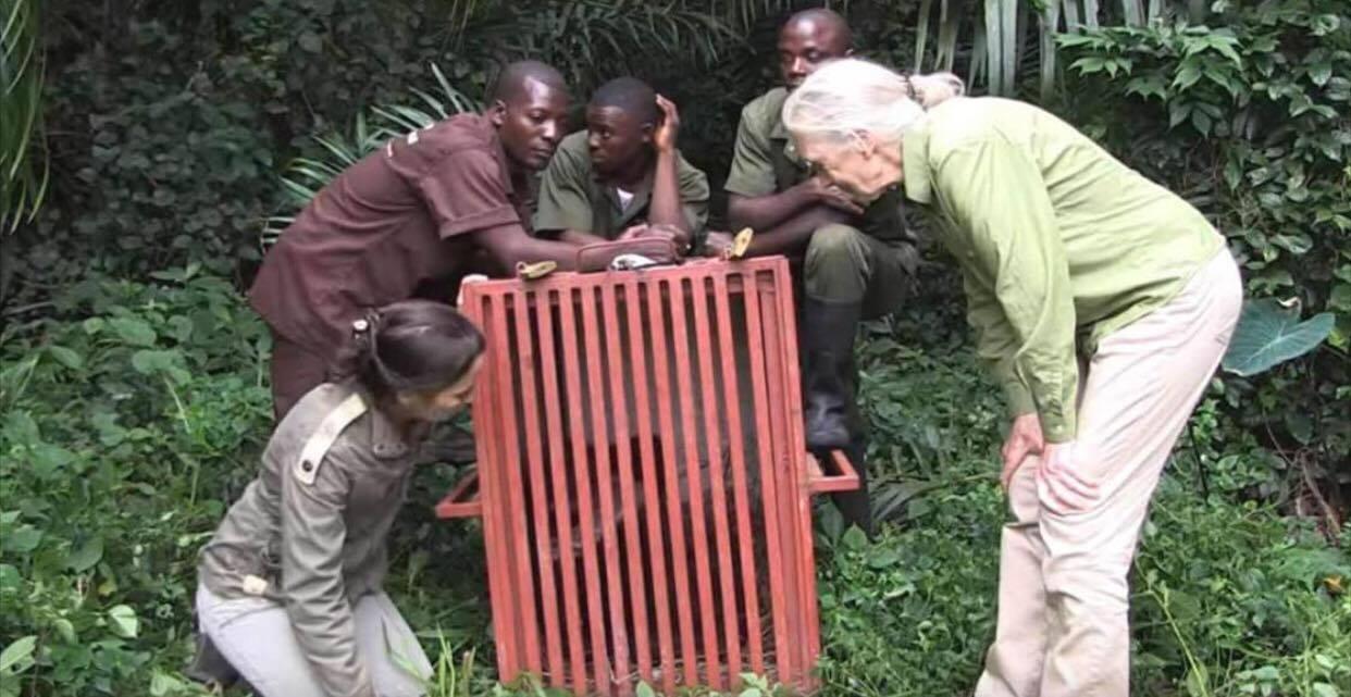 Chimpansen