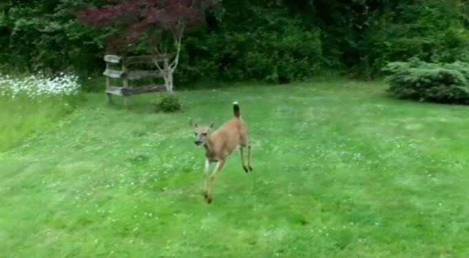 Hjorten kommer løbende - vent til du ser den yderst uventede ven, som møder ham