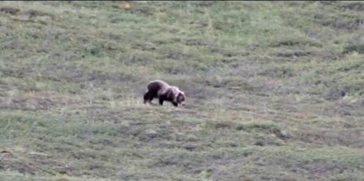 Turister filmer bjørn på bakke - pludseligt får den alle til at bryde ud i jubel