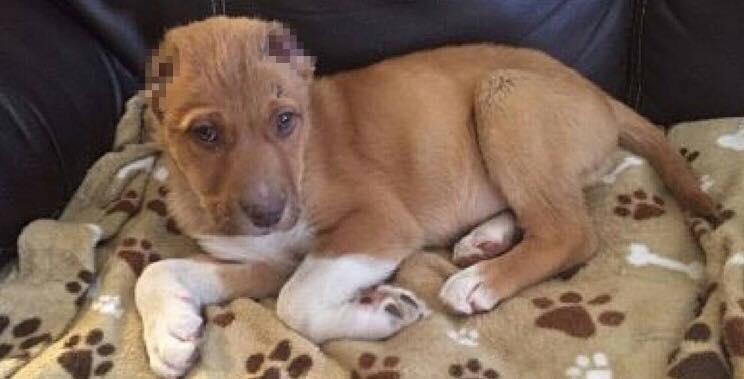 Hundehvalpen Rocky blev fundet skrigende i en baggård - uden ører