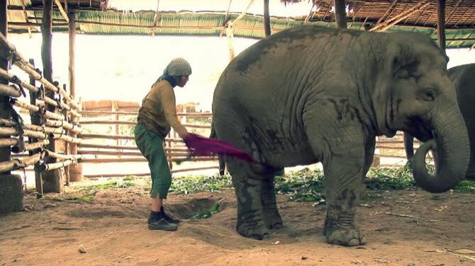 Kvinde fra Thailand svinger et sjal over elefantens ben - nu er dens reaktion blevet set over 6 millioner gange på youtube