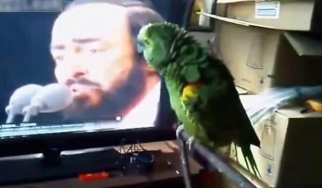 Papegøje hører Pavarotti i fjernsynet - aldrig har man hørt en lignende duet!