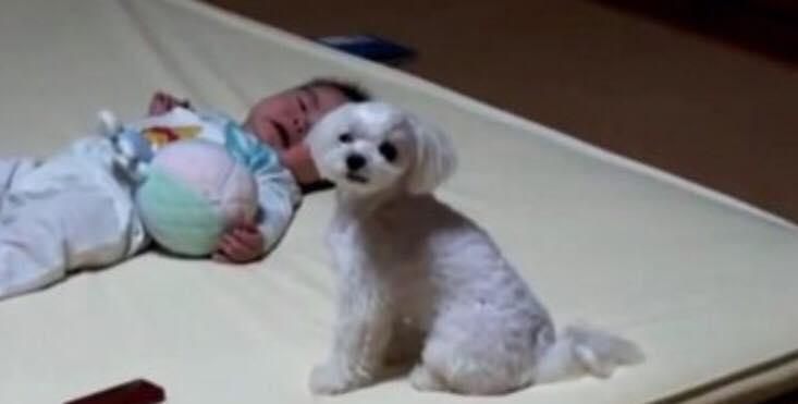 Babyen ligger og græder - se hundens geniale trick, der stopper gråden