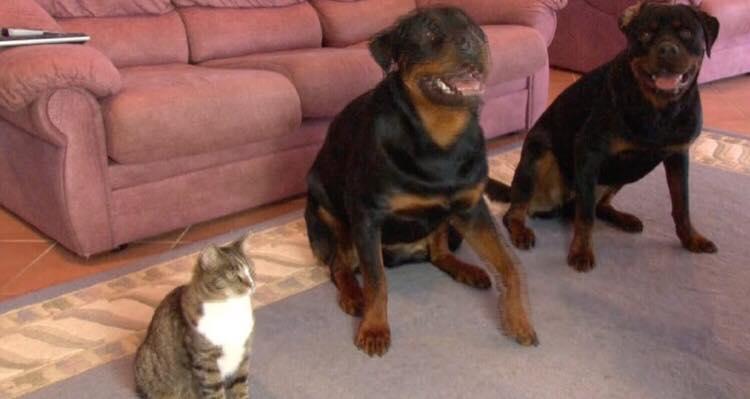 Ejer beder hundene lægge sig ned - kattens reaktion er helt vidunderlig!