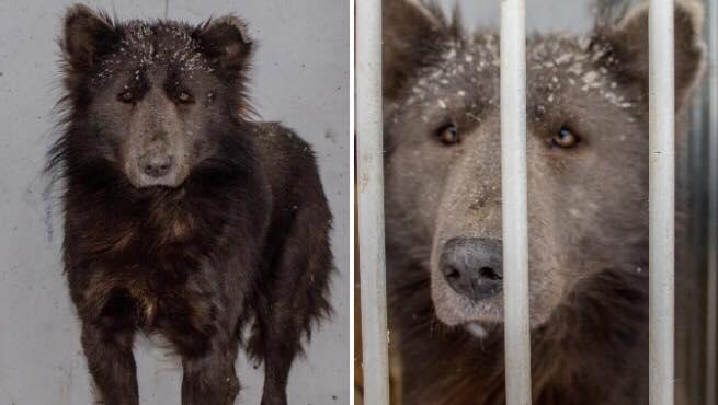 Mystisk hund/bjørn bliver indleveret til internat - Selv eksperter ved ikke hvilket dyr det er.