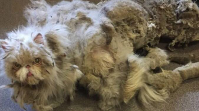 Ejer var ikke i stand til at passe sin kat - går i gennem utrolig forvandling, da de klipper 2,2 kilo pels af