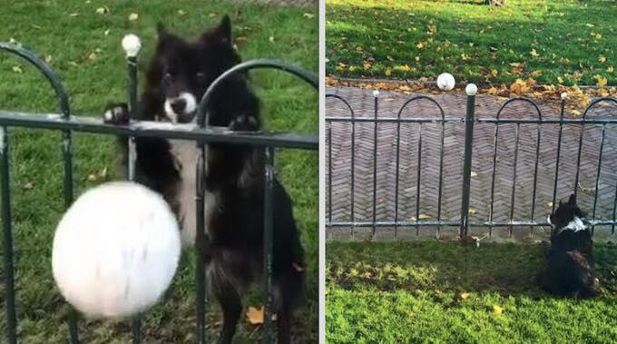 Hunden keder sig alene i haven - se nu dens udspekulerede metode til at få selskab