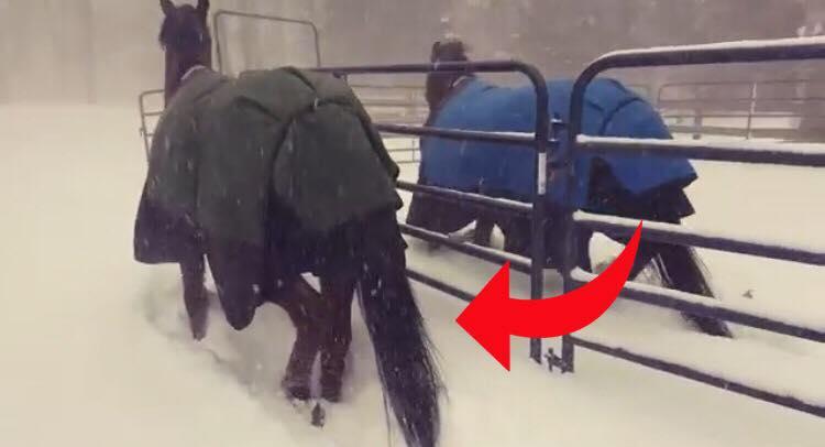 Hestene bliver lukket ud i den hvide nyfaldne sne - Deres synkrone reaktion er noget de fleste kan nikke genkendende til