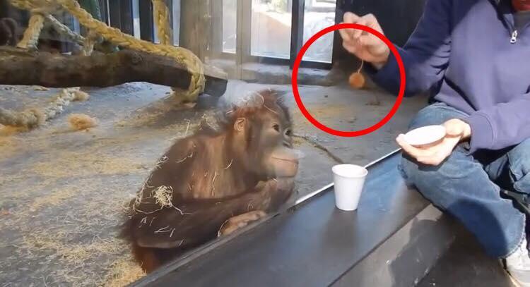 Orangutangs reaktion da den ser et magisk trick spreder sig nu som en løbeild