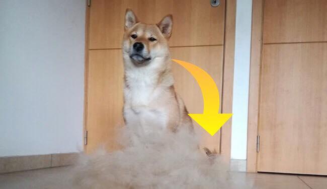 Ejeren klipper sin hund - se nu ansigtsudtrykkende der skifter, da han vælger at lave parykker til sin hund ud af pelsen