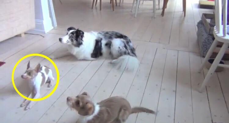 3 hunde ligger på gulvet - læg så mærke til den længst til venstre