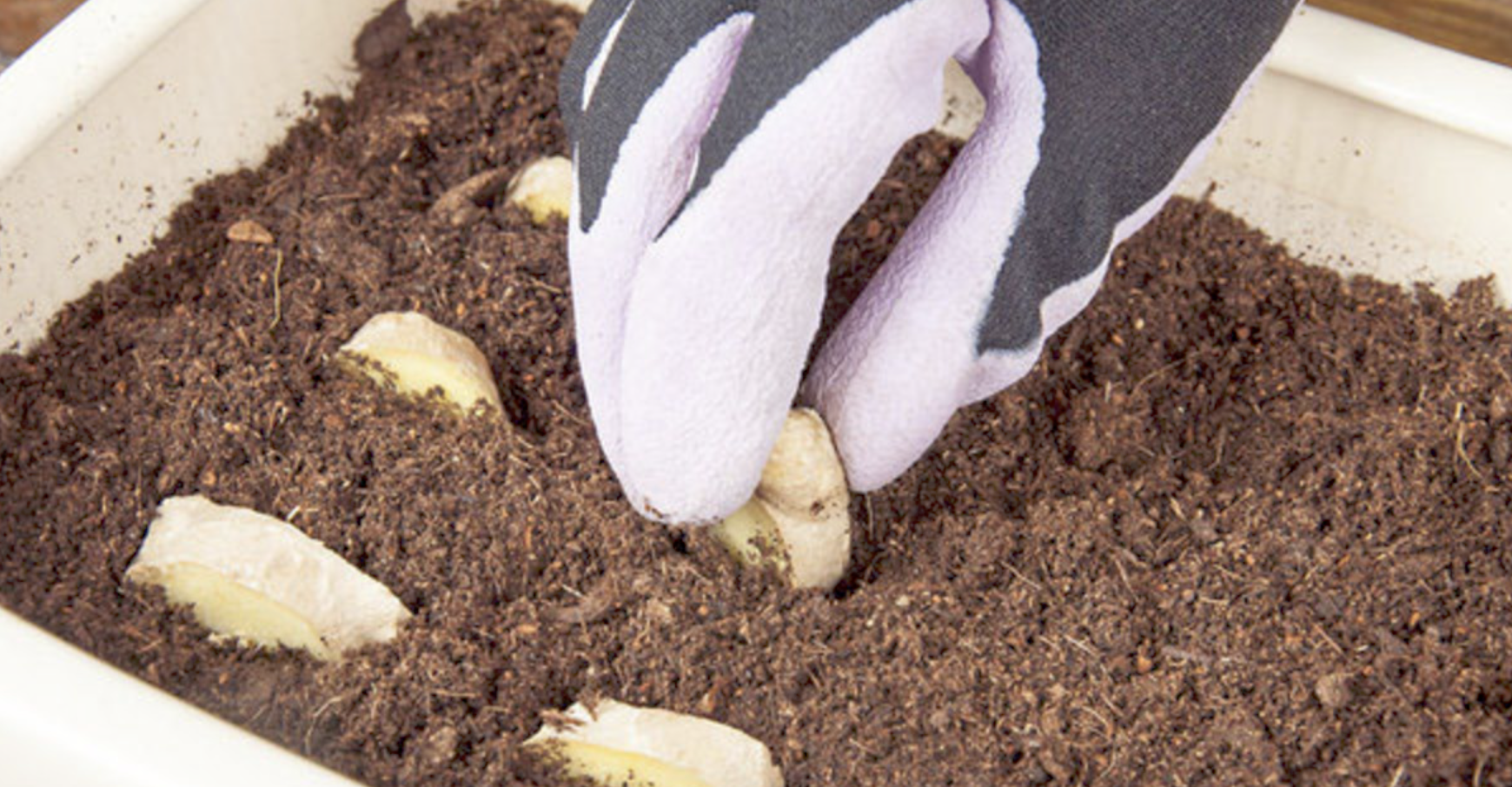 Как вырастить имбирь из корнеклубня в домашних условиях 31