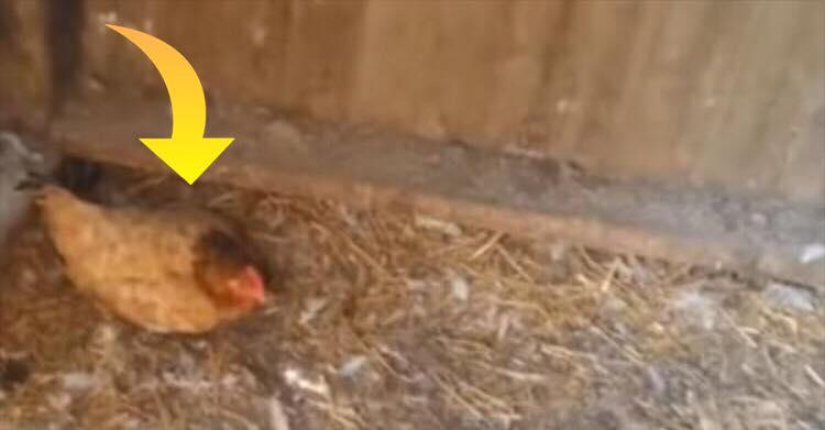 Hønen opførte sig mistænksom - så opdagede landmanden den hjertevarmende sandhed