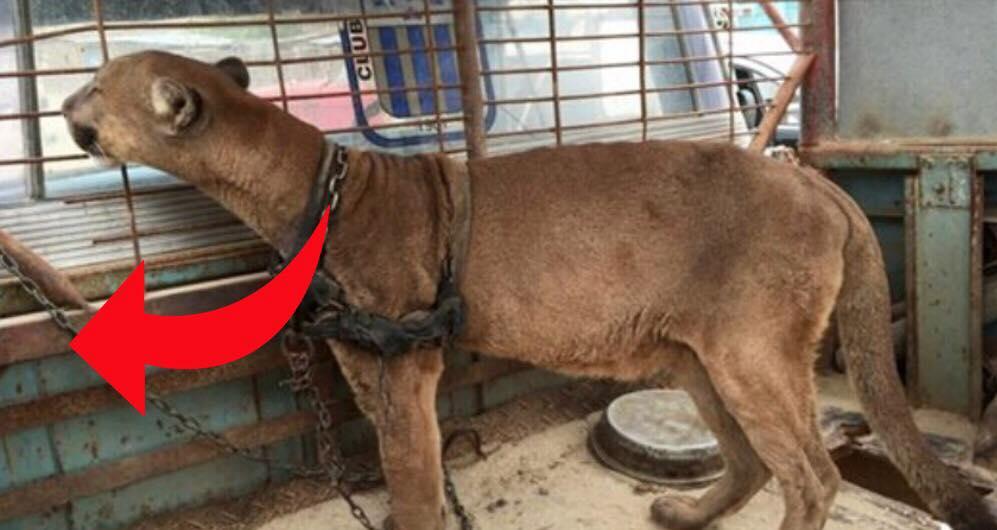 Løve slippes fri efter 20 års fangeskab i cirkus - Se da den tager sine første skridt ud i friheden
