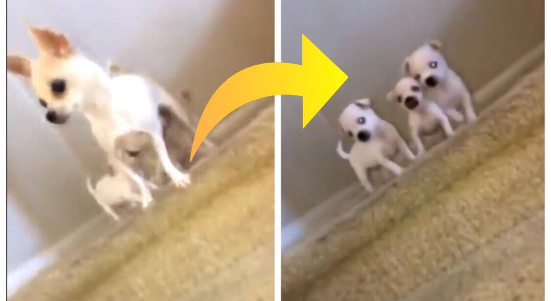 Hundemor løber ned af trappen - så løber hendes tre hvalpe efter hende, hvilket ikke ender som planlagt