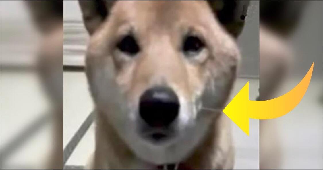 Hun beder sin hund om at gø lidt lavere - hundens reaktion har nu fået millioner til at grine!