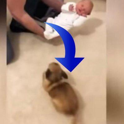 Chihuahua møder familiens nyfødte baby for første gang - se den hjertevarmende reaktion